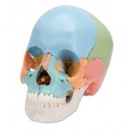 Cráneo desmontable - 22 piezas - Versión didáctica
