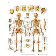 """Lámina """"El esqueleto humano"""""""