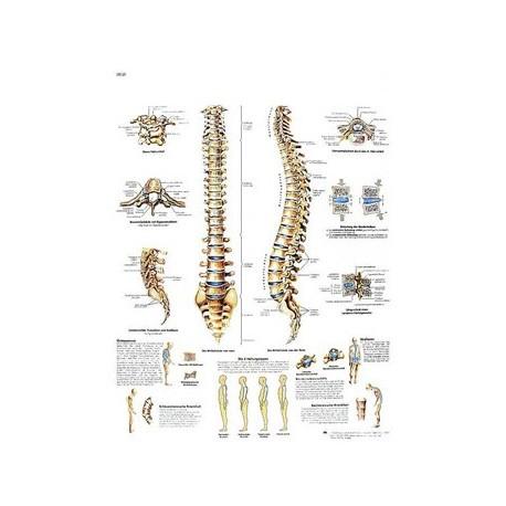 """Lámina """"La columna vertebral - Anatomía y patología"""""""