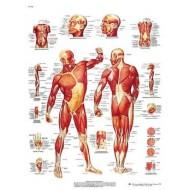 """Lámina """"La Musculatura humana"""""""