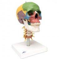 Cráneo clásico didáctico con columna cervical, 4 partes