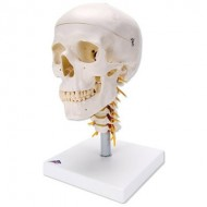 Cráneo clásico sobre columna cervical, 4 partes
