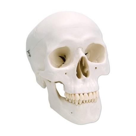 Cráneo Clásico, 3 partes